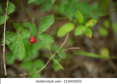 Wild strawberry on a bush in the woods.