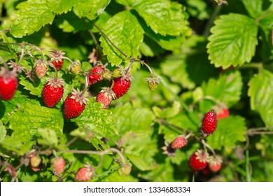 Wild strawberry plants with berries in the garden in a sunny day, ripening wild strawberries, agriculture concept