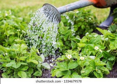 Wild strawberry plants under the water drops in the field in spring time, farmer is watering strawberries in the field, agriculture concept
