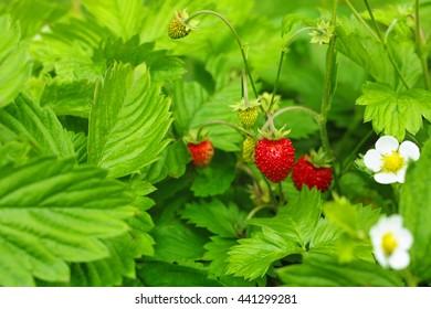 Wild Strawberry (soft focused background)