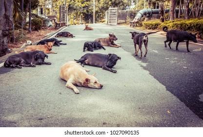 Wild Street Dogs in Thailand