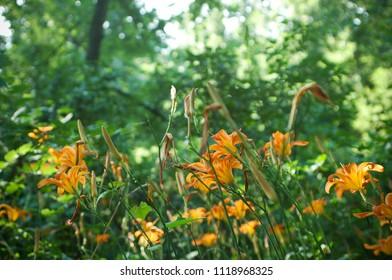 Wild Summer Day Lilies