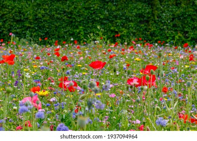 Wild summer flowers field. Multicolored flowering summer meadow with red pink poppy flowers, blue cornflowers. Summer landscape background with beautiful flowers. Environmental German project