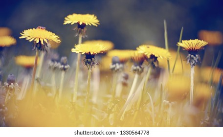 Wild summer yellow flowers of weed dandelions in the field.