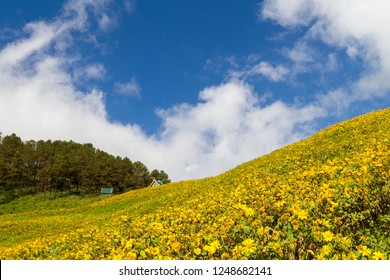 Wild sunflower background with yellow flowers and beautiful cloudy blue sky in Northern Thailand