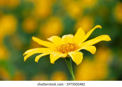 Wild sunflower or Bau tong is blooming at Doi Mae U Kor, mae Hong Son, Thailand