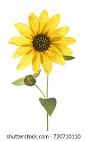 Wild Sunflower cut out on white background