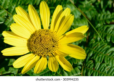 Wild Sunflower (Helianthus) Above Bracken Fern (Pteridium aquilinum)