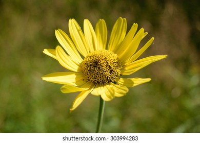 Wild Sunflower (Helianthus) Background