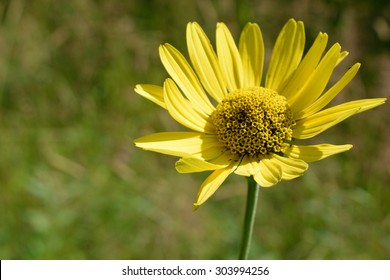 Wild Sunflower (Helianthus) Detail