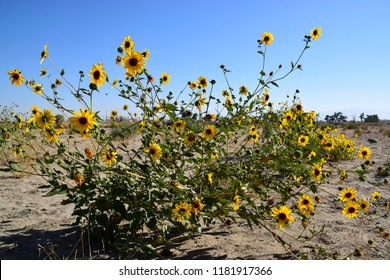 Wild sunflower plant blooming during fall season, Kern River, Bakersfield, CA.