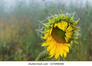 Wild sunflower with web and dew drops. The sunflower was found near a small pond. Probably this flower grew from an abandoned seed. The web around the flower is covered with dewdrops