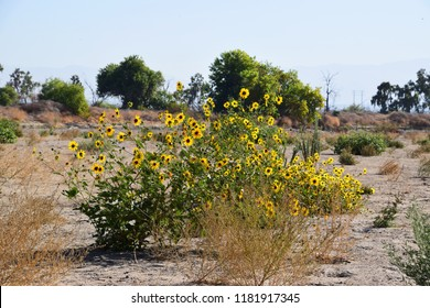 Wild sunflowers adorn the dry riverbed of Kern River, Bakersfield, CA.