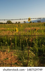 wild sunflowers behind wire fence in rural California meadow