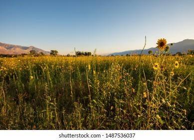 wild sunflowers bloom in meadow hills in distance