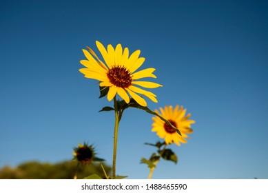 wild sunflowers in bloom on California roadside