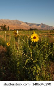 wild sunflowers blooming along rural California road meadow, fence, mountains