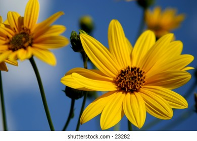 wild sunflowers in a morning light