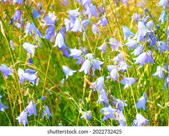 wild sunny field with summer  bluebells