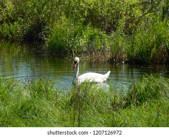 Wild swan swimming in lake, Masuria, Poland