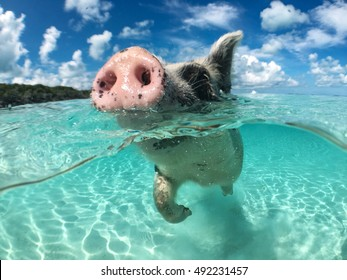 wild-swimming-pig-on-big-260nw-492231457