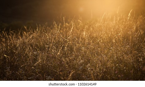 Wild tall grass meadow in orange sunset backlit