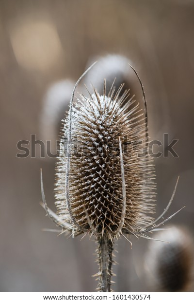 Wild teasel head covered with ice on a frosty morning as the sun is about to rise. (Dipsacus fullonum)