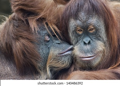 Wild tenderness among orangutan. Mother's kissing her adult daughter