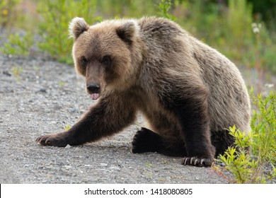 Wild terrible Kamchatka brown bear (Ursus arctos piscator) sitting on stones with his tongue sticking out and looking into camera with hungry eyes. Eurasia, Russian Far East, Kamchatka Region.