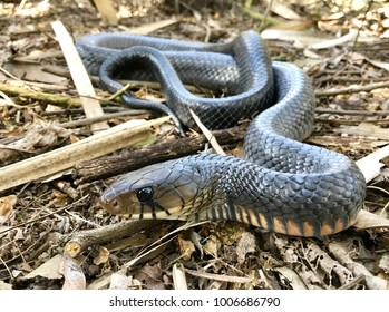 Wild Texas indigo snake
