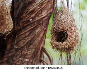 wild thai avian straw weaver cute bird's nest hanging outdoor in green tropical garden as natural home decorative element selective focus blur background