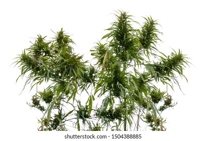 Wild thick green hemp. Close up. Isolated on white background.