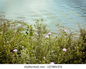Wild Thistle Flowers Growing Beside a Lake
