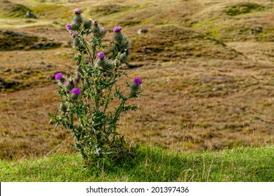 A wild thistle growing in remote hill location in Perthshire in, Scotland .