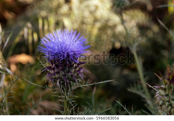 Wild thistle with purple flower