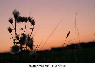 Wild thistle silhouette against setting sun background