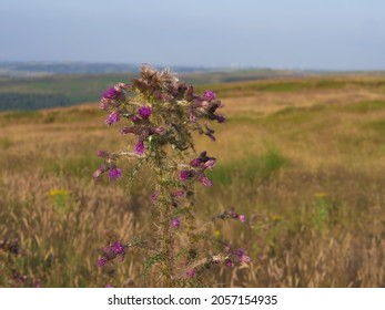 Wild thistles grow in Yorkshire moorland countryside landscape medium shot