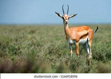 Wild Thompson's gazelle or Eudorcas thomsonii in savannah