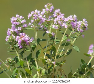 Wild thyme blooming, Thymus