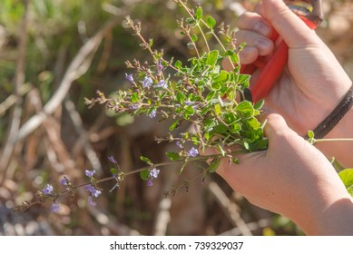 Wild Thyme , Thymus serpyllum, planted with white blossoms, sloping, slim, ramous sloping stems. Small leaves. Small flowers.  The flowering takes place between April and September. Cilento. Italy