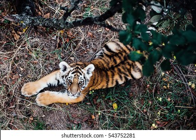 India Tiger Images, Stock Photos & Vectors   Shutterstock
