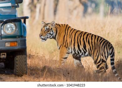 Wild Tiger in Kanha, madhya pradesh, India.