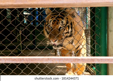 The Wild Tiger In A Zoo Cage. Bengal tiger in cage.
