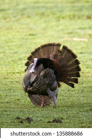 A Wild Tom Turkey (Meleagris gallopavo), spreading his tail to attract a hen