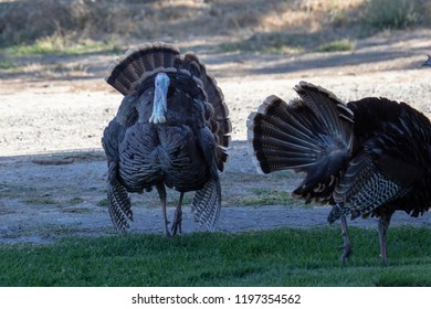 A wild tom turkey strutting and displaying his feathers to impress the hens