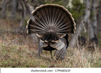 Wild tom turkeys strutting a mating dance with their tail feathers fanned out. Oregon, Ashland, Cascade Siskiyou National Monument. Spring