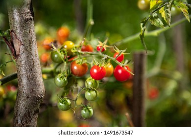 Wild tomatoes growing, both ripe and unripe, rich in colors and vitamins.