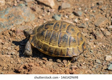 A wild tortoise roaming freely in Central Turkey. Spur-thighed Tortoise (Testudo graeca) in the foothills, Sivas, Turkey. Wild tortoise on the ground.