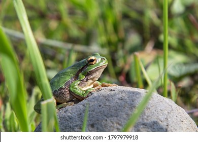 Wild Tree Frog sitting on a rock next to a lake in a small village in Cyprus Island