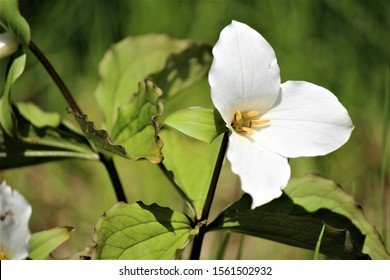A wild Trillium in full bloom. Ontario's provincial flower is a protected species and a special find.